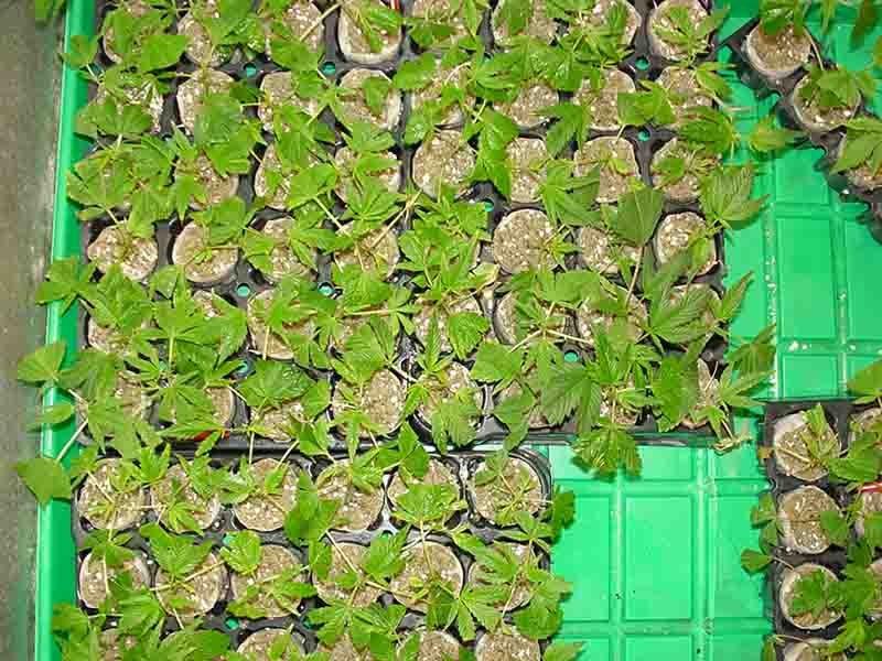 clones-2