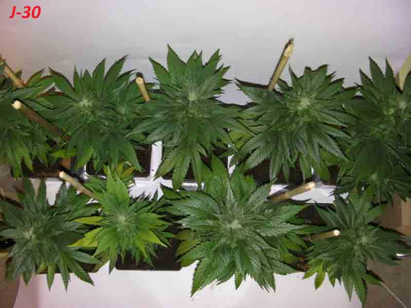Sanyo digital camera biotops biz for Engrais floraison cannabis exterieur