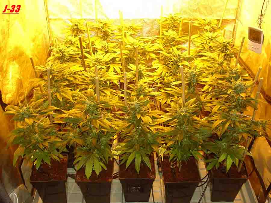J 33 c biotops biz for Cannabis floraison interieur