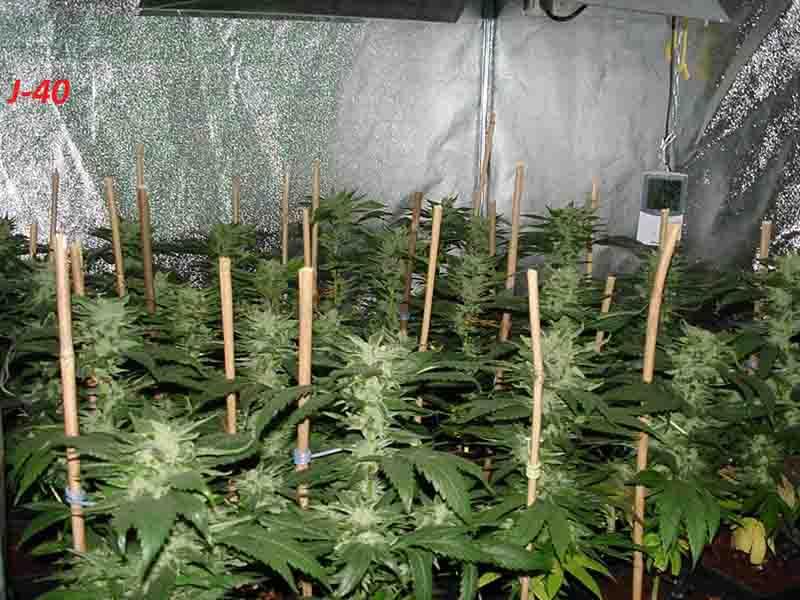 Engrais floraison cannabis exterieur 28 images for Cultiver cannabis exterieur