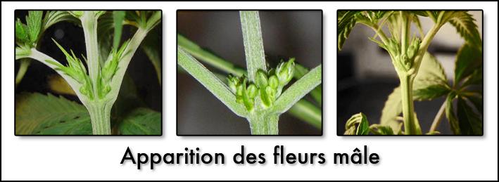 Apparition des fleurs mâle