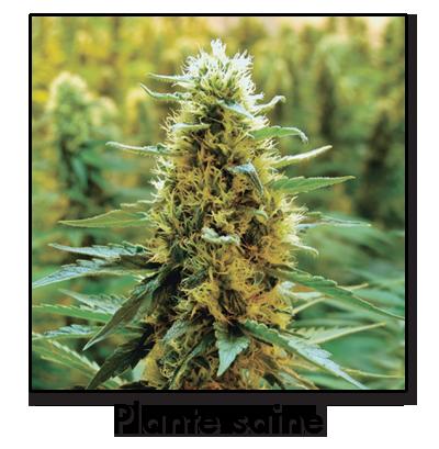 Plante_saine