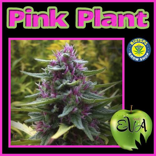 PinkPlant