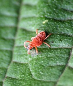 araignees rouge