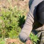 recolte-cannabis