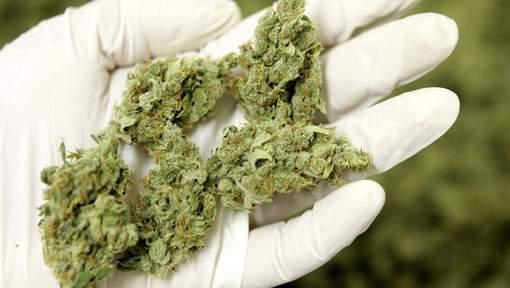 Tutos r colte et s chage du cannabis - Faut il couper les jonquilles apres floraison ...