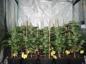 odeur du cannabis
