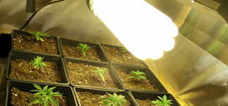 culture de cannabis lampes basse consommation biotops biz. Black Bedroom Furniture Sets. Home Design Ideas
