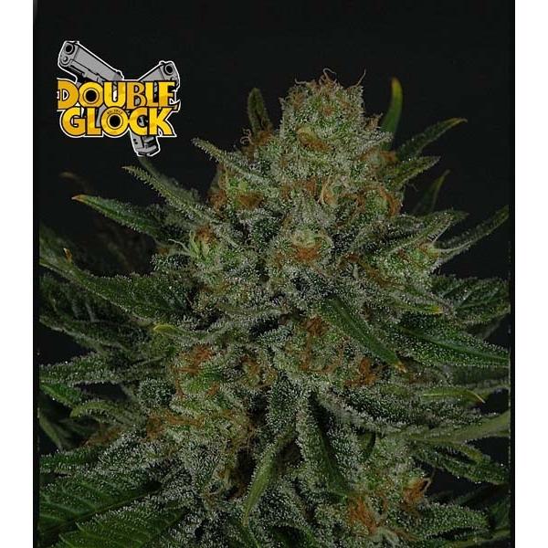 La Double Glock est une variété de cannabis Sativa Afghane