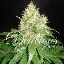 La Northern Ligh Blue variété de cannabis médicinale
