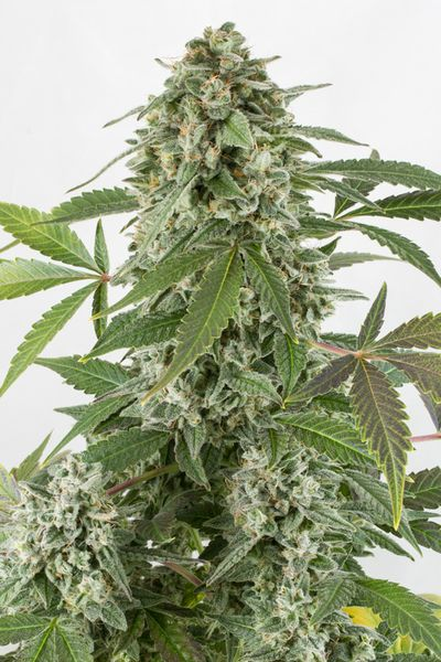 White Widow Auto de chez Dinafem Seeds