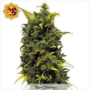 La Blue Cheese de la banque Barney's Farm
