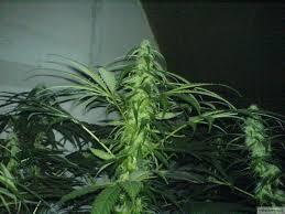 floraison du cannabis en 12h de lumière
