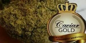 cavia gold home