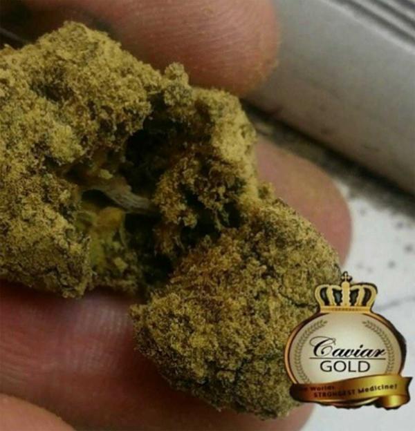 cavia gold