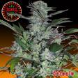 Achetez vos graines de cannabis chez biotops.biz