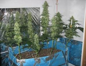Plusieurs plante de One-Bud