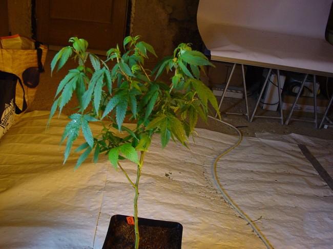 Plante mère peu robuste