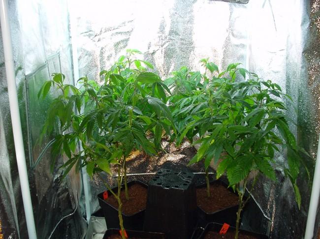 Plante mère de cannabis