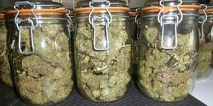 le curing des têtes de cannabis