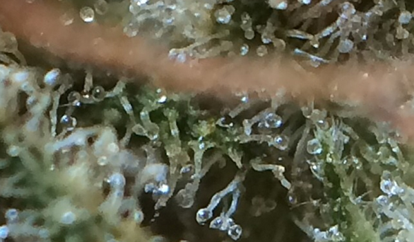 photo de trichomes laiteux de Big Jack