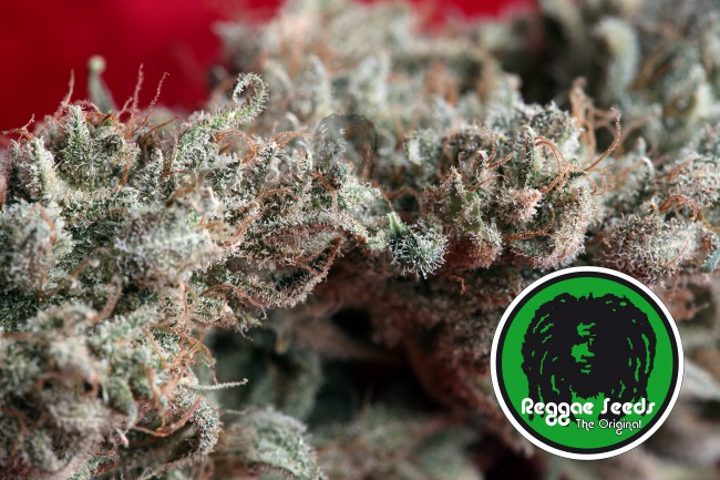graines de cannabis féminisées O'Haze Red