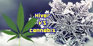 hiver-cannabis