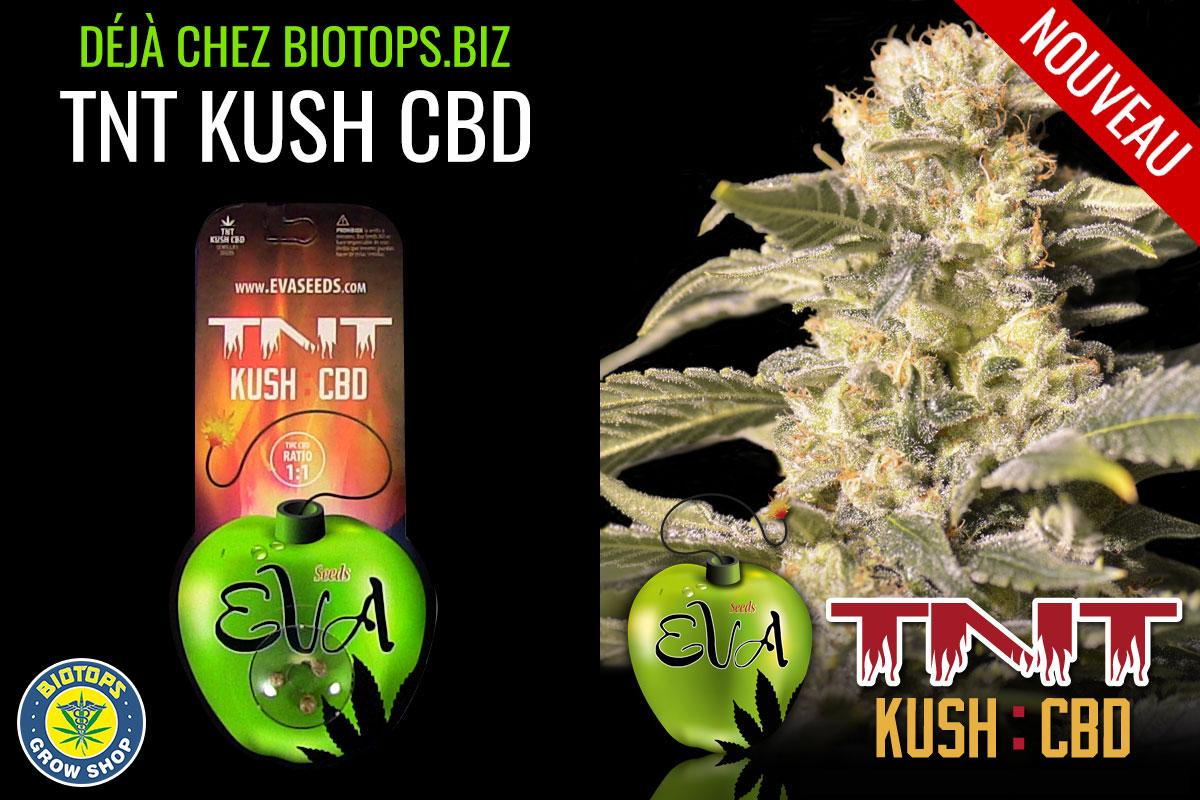 Photo Eva seed TNT Kush CBD en vente chez biotops