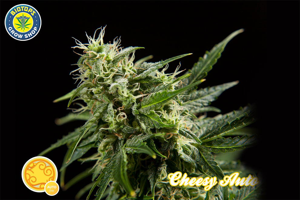 graines Philisopher Seeds disponibles sur le site de Biotops.biz