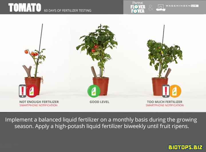 plan de tomate avec parrot