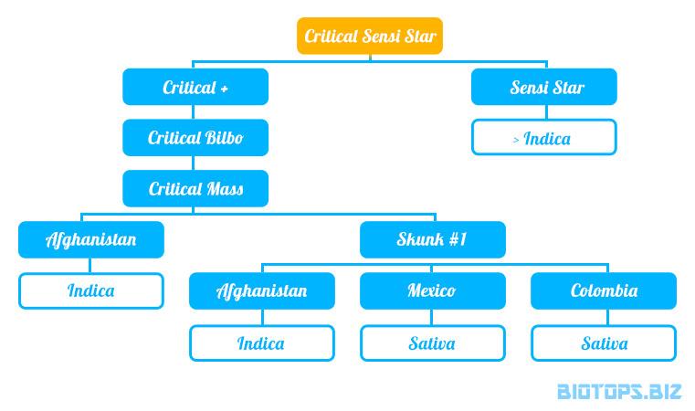 Arbre généalogique de la Critical Sensi Star