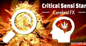 Critical-Sensi-Star-graine-de-cannabis