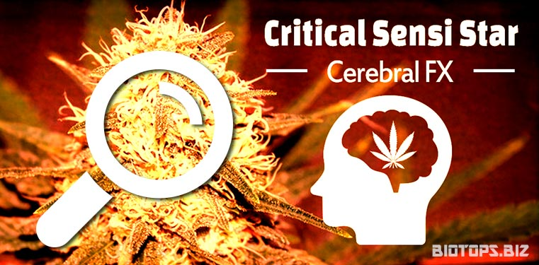 Critical-Sensi-Star-graine-de-cannabis