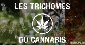 Les trichomes du cannabis