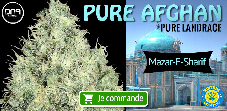 Pure Afghan DNA Genetics Pure Landrace Mazar-E-Sharif