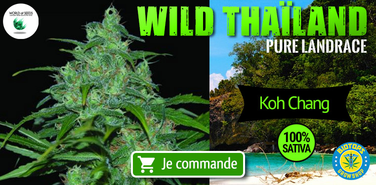 Wild Thailand World of Seeds Pure Landrace Koh Chang