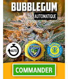 Bubblegum, graine de cannabis automatique de T.H. Seeds