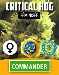 Critical HOG graine de cannabis féminisée