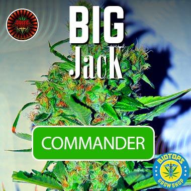 Big Jack de Queen Seeds en vente chez Biotops.BIZ