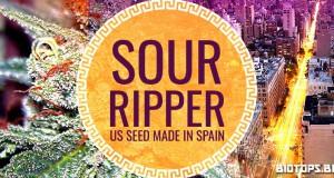 Sour Diesel, graine de cannabis de Ripper Seeds