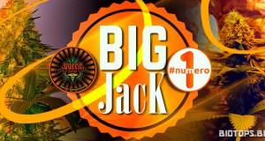 Big Jack de Queen Seeds, graine de cannabis en tête des ventes