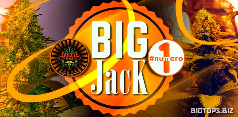 Big Jack de Queen Seeds, graine de cannabis en tête des ventes
