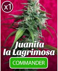 Juanita la Lagrimosa de Reggae Seeds à l'unité