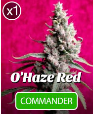 O'Haze Red de reggae seeds à l'unité