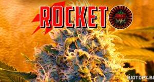Rocket de Queen Seeds