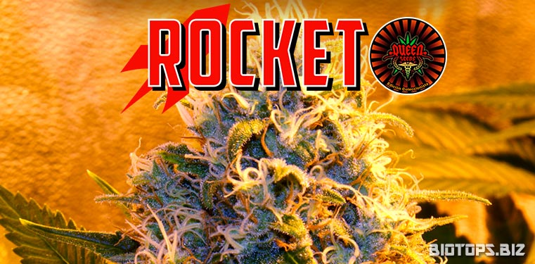 Rocket de Queen Seeds