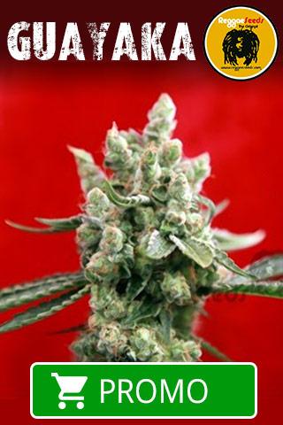 guayaka-reggae-seeds---20-%