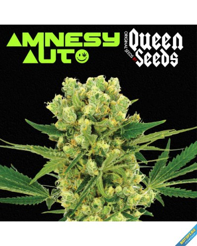 Amnesy auto de Queen Seeds