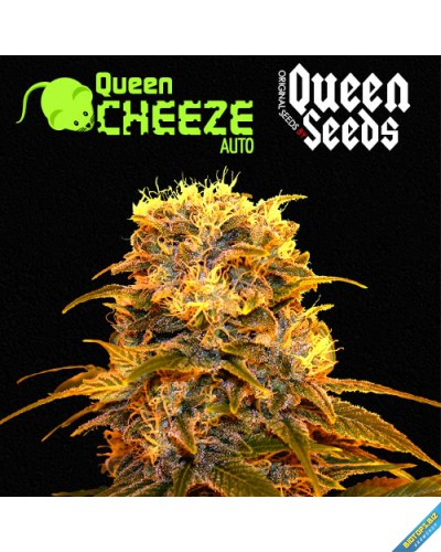graines automatique Queen cheese de chez Queen Seeds