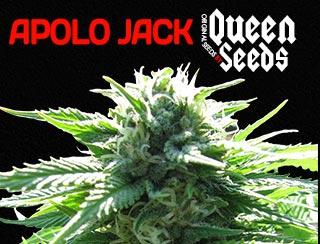 Apolo jack de chez queen seeds